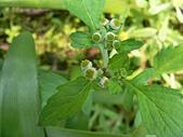 菊科植物:茯苓菜