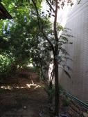 後院種25年的柚子樹首次結果:IMG_8294.JPG