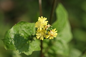 菊科植物:DSC07187
