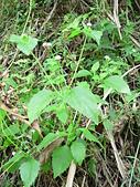 菊科植物:P2160295