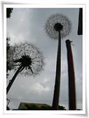 菊科植物:P1940925v