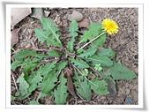 菊科植物:西洋蒲公英植株與黃花
