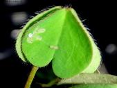 藍灰蝶(沖繩小灰蝶)的一生:DSC07509Day2初齡幼蟲食痕.JPG