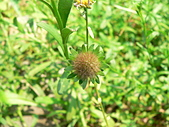 菊科植物:狗娃花瘦果冠毛