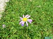 菊科植物:P2140617