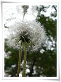菊科植物:P1940913v