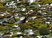 凌波仙子(菱角鳥)雛鳥&成鳥:IMG_6572a.jpg