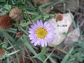 菊科植物:臺灣狗娃花紫瓣黃心花
