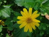 雙溪-老農夫生態農莊及虎豹潭的植物:DSC03500南美蟛蜞菊.JPG