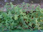 復旦三月花朵:DSC03113.JPG