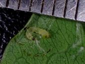 細蛾幼蟲捲葉~蛹~羽化 (三條白斑紋):DSC05932.JPG
