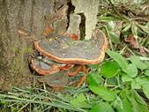 野生菇蕈天地 101~102年:寬棱木層孔菌