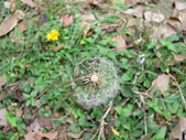 菊科植物:P1940936