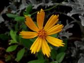 菊科植物:DSC09172.JPG