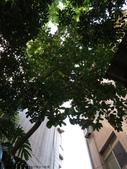 後院種25年的柚子樹首次結果:IMG_8307.JPG