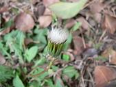菊科植物:P1940877