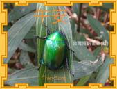 昆蟲問安卡-午安:午安!台灣青銅金龜(雄).jpg