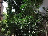 後院種25年的柚子樹首次結果:DSC00517.JPG