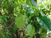雙溪-老農夫生態農莊及虎豹潭的植物:DSC03544.JPG