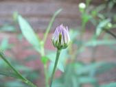 菊科植物:P2110371