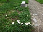 公園草坪比手掌大的二種傘菇 105.9.18~19:DSC02080.JPG
