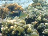 馬爾地夫-印度洋的淺海生物:P7120387茉莉.JPG