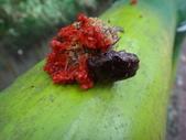 108~109年復旦社區昆蟲:DSC01964紫豔白點花金龜.JPG