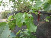 長果桑(紫金蜜桑、奶桑、光葉桑):DSC03395.JPG
