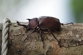 鞘翅目 金龜子:DSC00202
