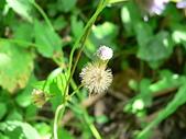菊科植物:貓腥草褐黃瘦果冠毛