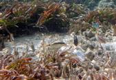 馬爾地夫-印度洋的淺海生物:P7120427a.jpg