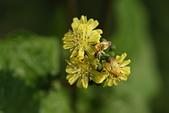 菊科植物:DSC07186
