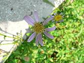菊科植物:P2140629