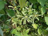 菊科植物:鼠麴草
