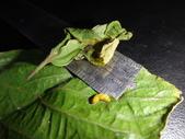 朴樹葉苞搖籃內活一生的黑點捲葉象鼻蟲幼蟲~成蟲:DSC00808.JPG