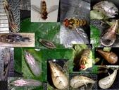 細扁食蚜蠅終齡幼蟲~化蛹~羽化:細扁食蚜蠅終齡幼蟲~蛹~羽化.jpg