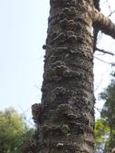 野菇蕈-復旦109~110年:DSC08075裂褶菌.JPG