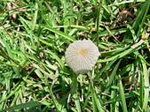 野生菇蕈天地 970810/971026日本北海道:藍褐色傘菇
