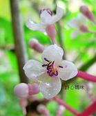 驚豔的花朵(白色系):台灣野牡丹藤白瓣紫蕊