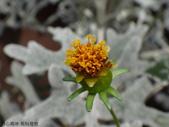 菊科植物:DSC00649.JPG