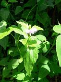 菊科植物:P2160241