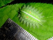 黑點扁刺蛾四齡幼蟲~圓褐繭~羽化:DSC00641身長1.9公分.jpg
