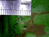 梔子三紋野螟蛾(幼蟲~蛹~羽化):DSC09774梔子三紋野螟蛾幼蟲身長7.5mm.JPG