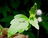 菊科植物:貓腥草