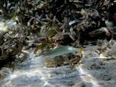 馬爾地夫-印度洋的淺海生物:P7120447a.jpg