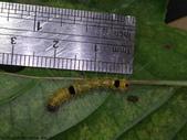 梨偽毒蛾終齡幼蟲~繭蛹~羽化:DSC07879身長約2.3公分.JPG