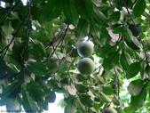 後院種25年的柚子樹首次結果:IMG_8316.JPG