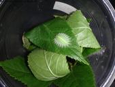 黑點扁刺蛾四齡幼蟲~圓褐繭~羽化:DSC00849.JPG