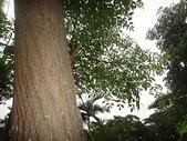 野生菇蕈天地 101~102年:苦楝樹
