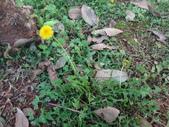 復旦三月花朵:DSC02581西洋蒲公英.JPG